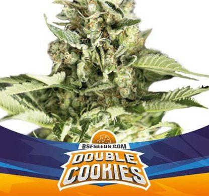 SensorySeeds Plante Double Cookies Autofloraison