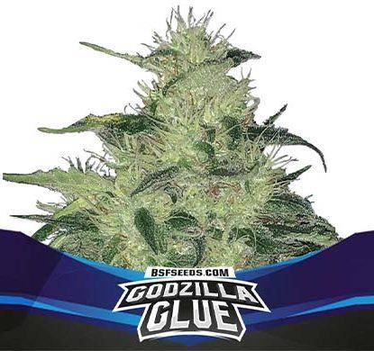 SensorySeeds Plante Godzilla Glue Autofloraison