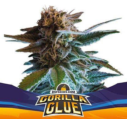 SensorySeeds Plante Gorilla Glue Autofloraison
