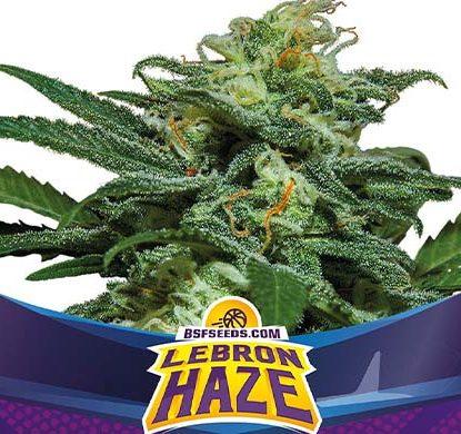 SensorySeeds Plante Lebron Haze Autofloraison