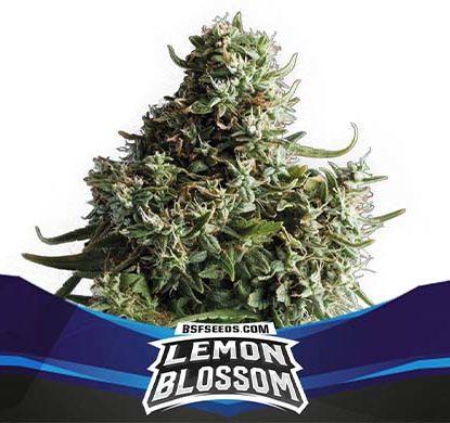 SensorySeeds Plante Lemon Blossom Autofloraison