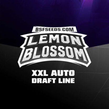 lemon-blossom-autofloraison