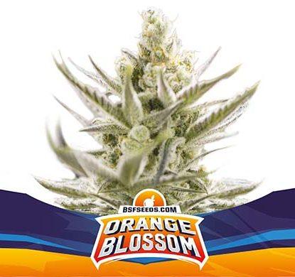 SensorySeeds Plante Orange Blossom Autofloraison