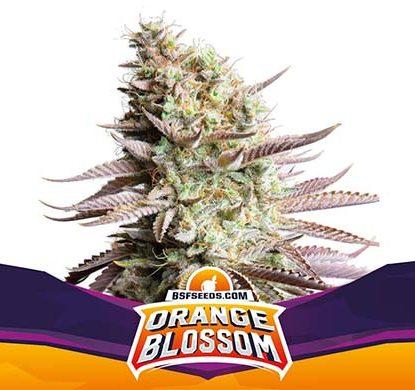 SensorySeeds Plante Orange Blossom Féminisées