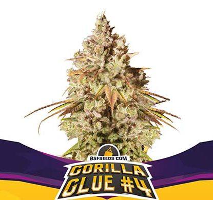 Plante de graines de cannabis féminisé du Gorilla Glue