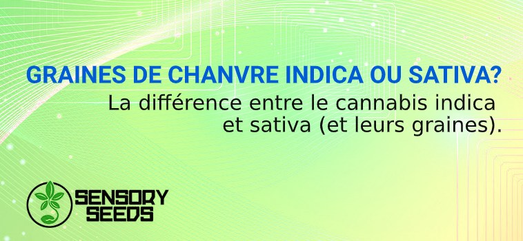 GRAINES DE CHANVRE INDICA OU SATIVA