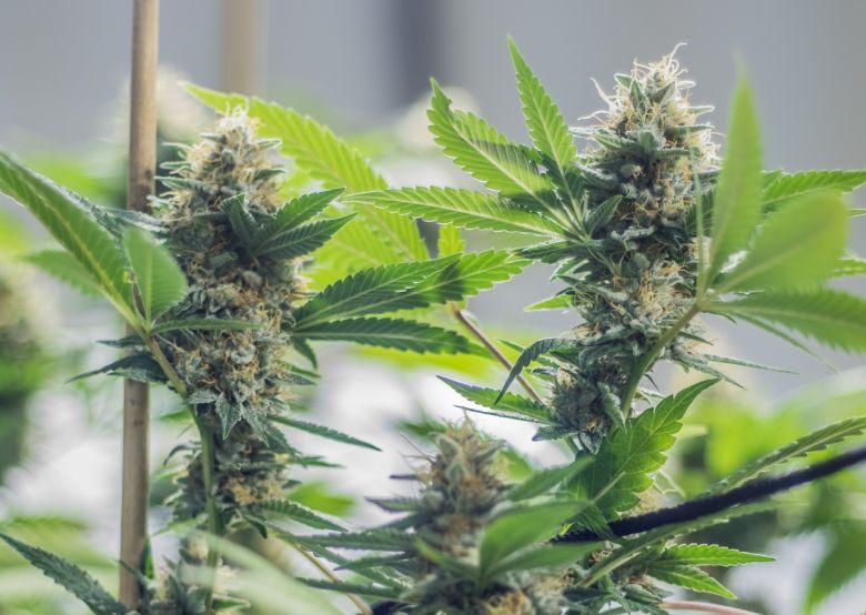 graines de cannabis femelle