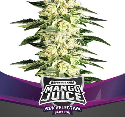 Plante de graines de cannabis féminisé du Mango Juice