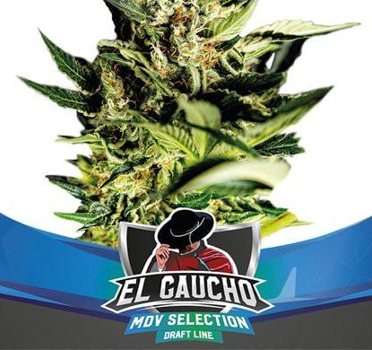 Plante du graines de cannabis à floraison rapide El gaucho