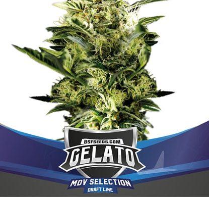 Plante du Gelato XXL du graine autofloraison