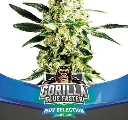 Plante du graines de cannabis à floraison rapide Gorilla Glue