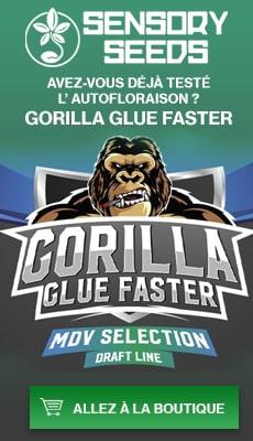 Banner Sensoryseeds Gorilla Glue graines de cannabis floraison rapide