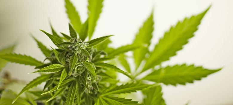 graines de marijuana qui fleurissent en 60 jours
