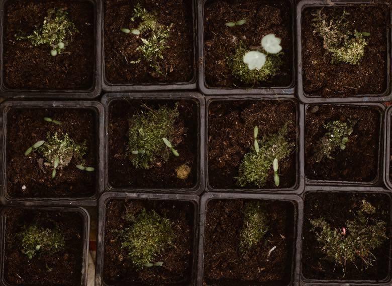 planter des graines de cannabis
