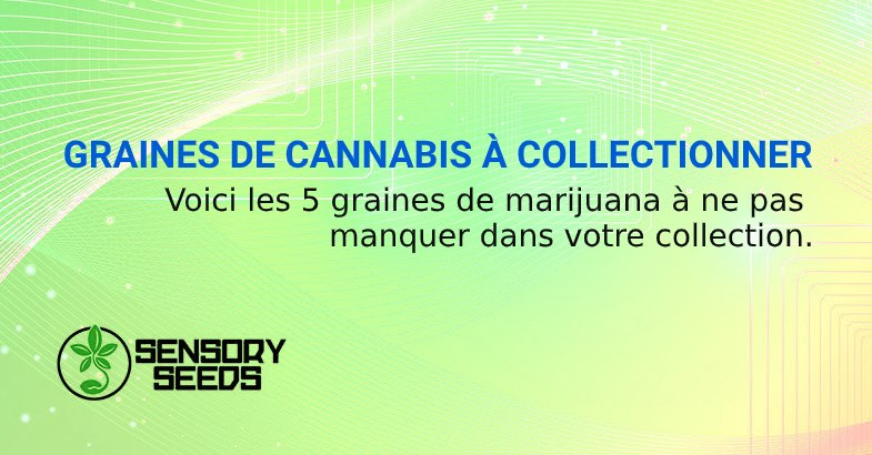GRAINES DE CANNABIS À COLLECTIONNER