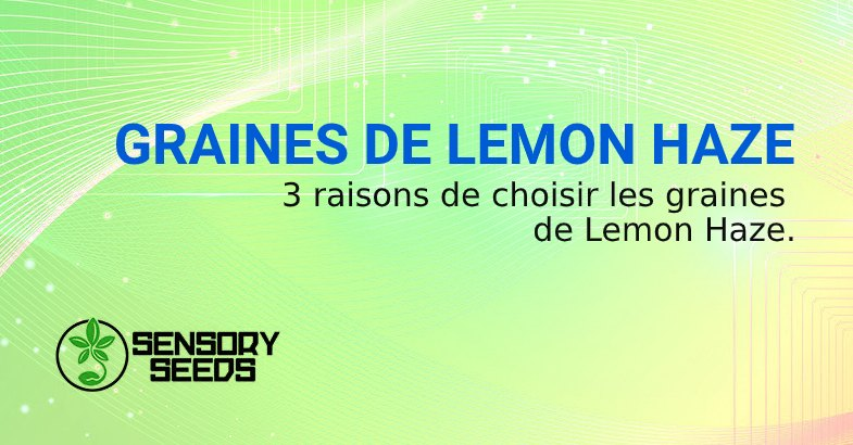 GRAINES DE CANNABIS LEMON HAZE