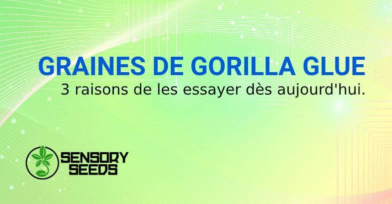 GRAINES DE canabis GORILLA GLUE