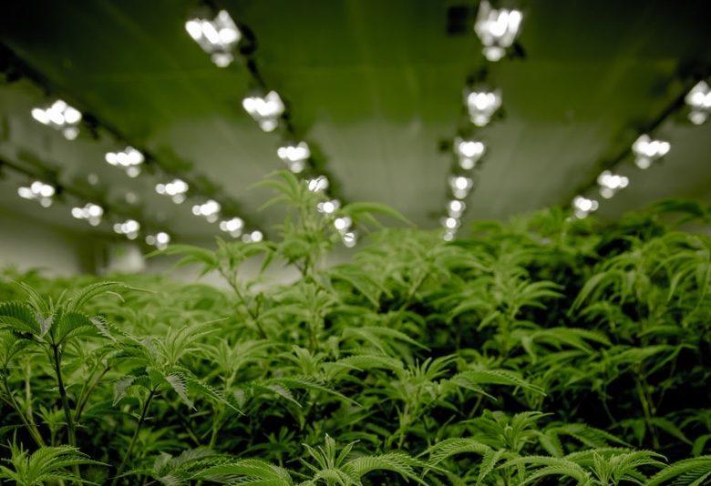 Cultiver graines de canabis avec lumière artificielle