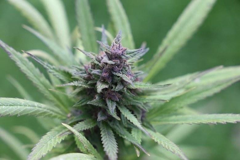 Graines de cannabis Purple Haze