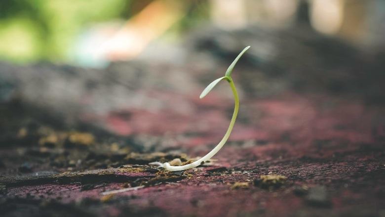 culture rapide de graines àutofloraison en plein air