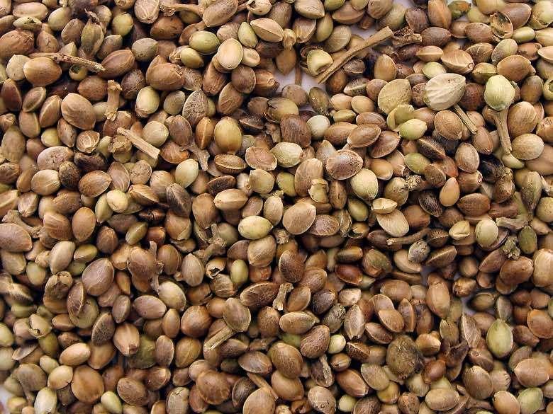 Acheter des graines de canabis de collection est légal