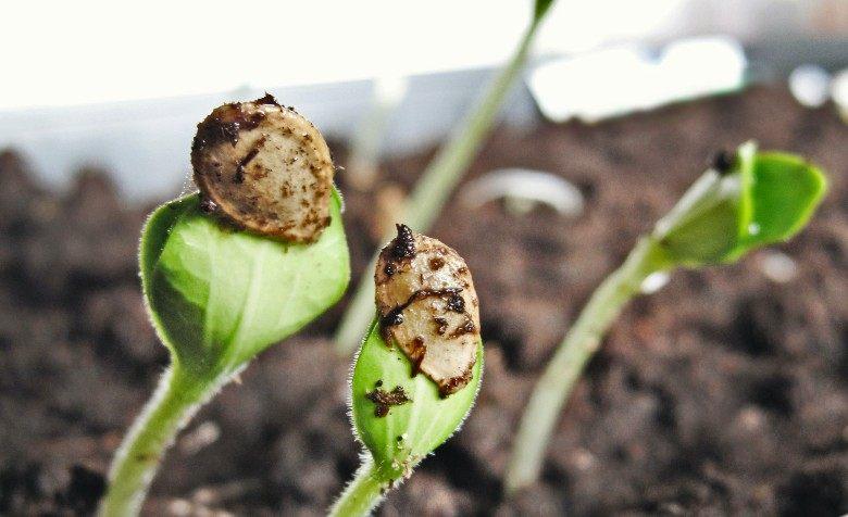 graines autofloraison france et graines féminisées