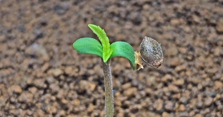 graines de cannabis féminisées à floraison automatique