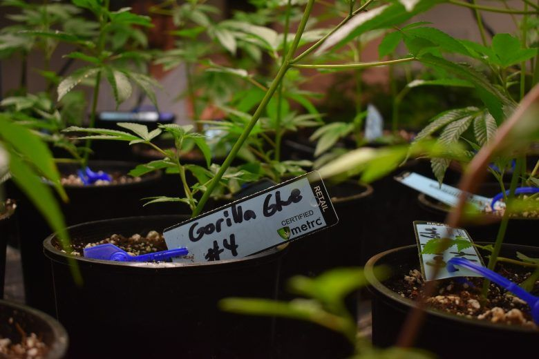 meilleurs types de marijuana et graines de cannabis gorilla glue