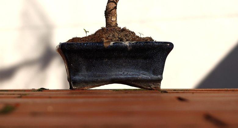 pot pour pousser bonsaï à partir de graines de canabis
