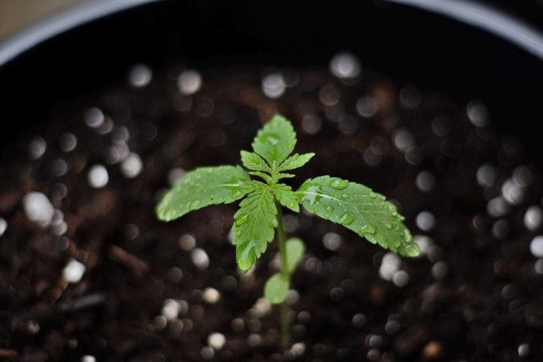pousser un bonsaï à partir de graines de cannabis