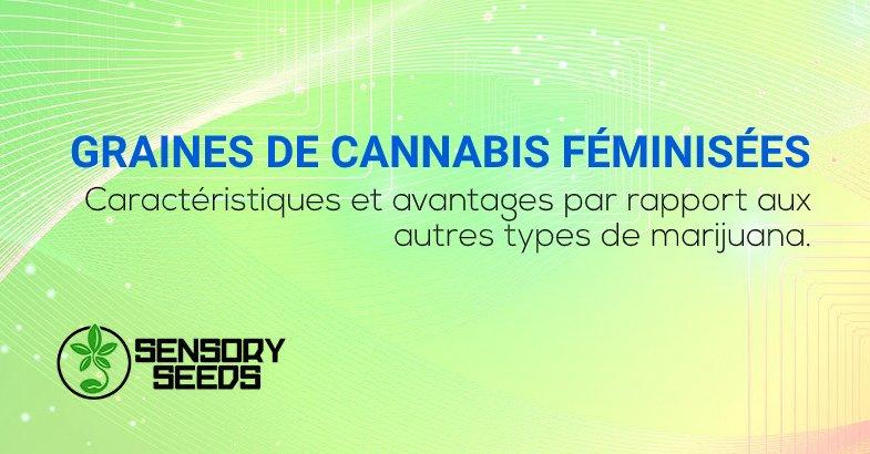 Graines de cannabis féminisées caractéristiques et avantages