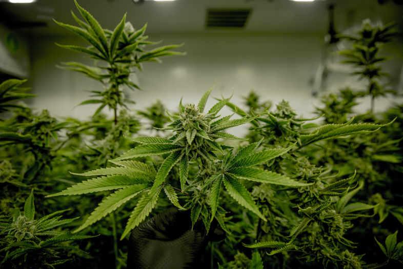 plantes de cannabis
