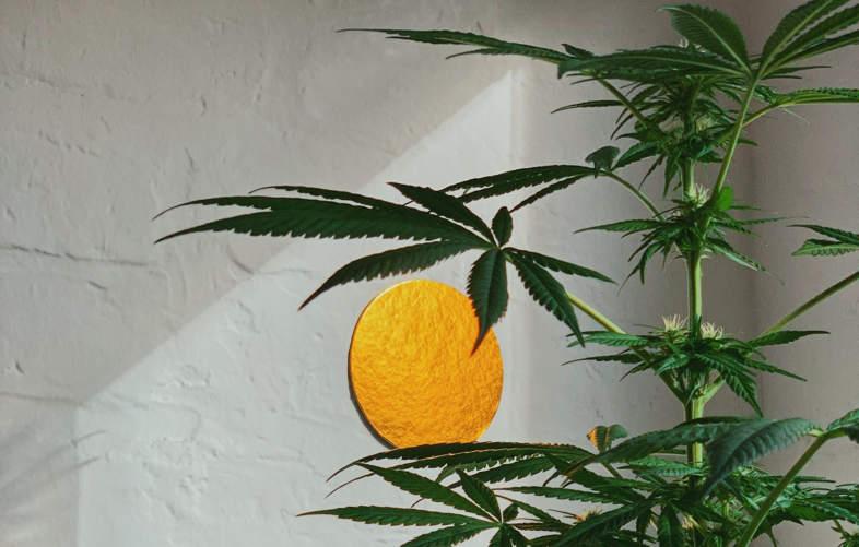 feuilles de marijuana