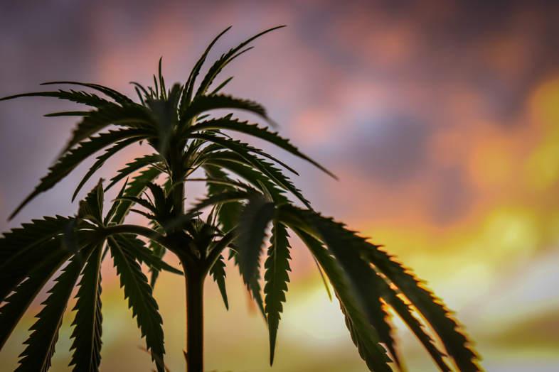 La fertilisation des plantes de cannabis
