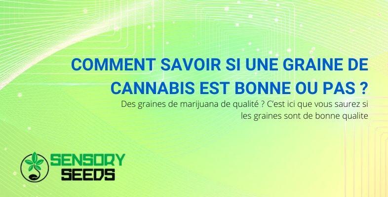 Comment savoir si une graine de cannabis est bonne ou pas ?