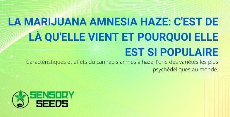 Pourquoi la marijuana Amnesia Haze est-elle si connue et d'où vient-elle?