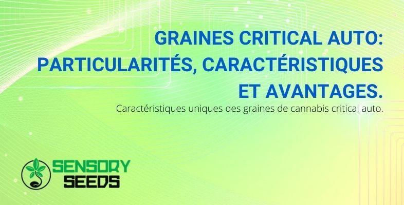 Particularités, caractéristiques et avantages des graines Critical Auto