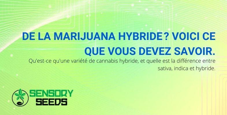 Ce que vous devez savoir sur la marijuana hybride