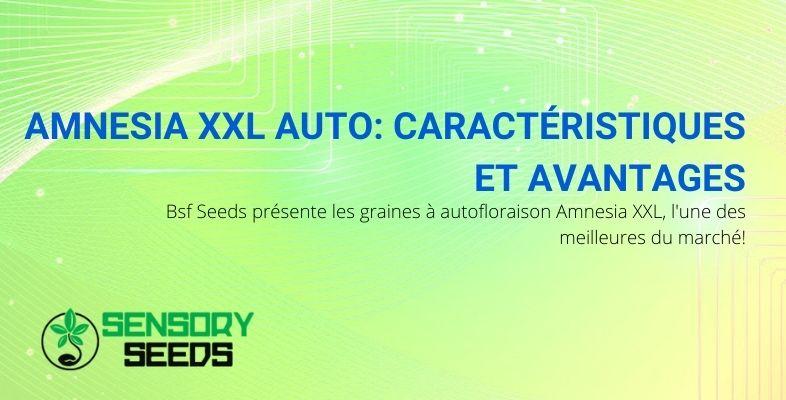 Graines Autofloraison Amnesia XXL BSF: parmi les meilleures du marché