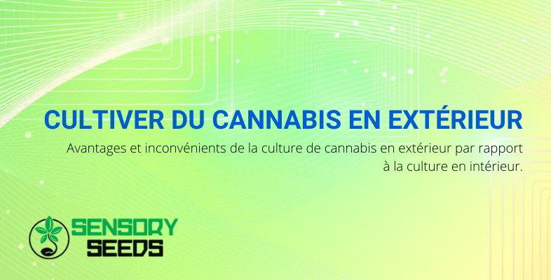 Avantages et les inconvénients de la culture du cannabis en extérieur.