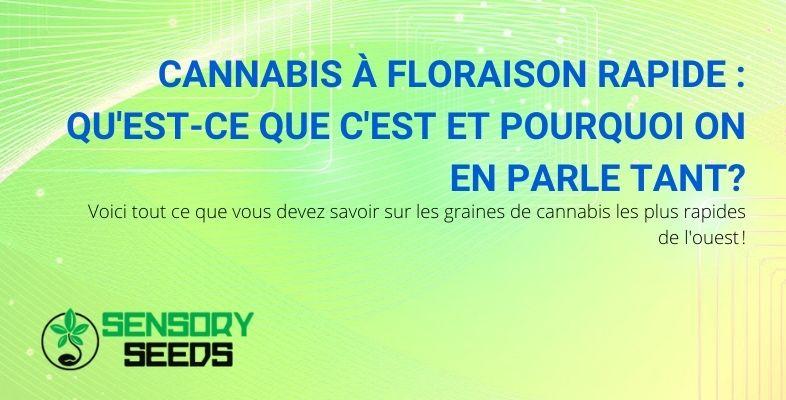 Tout sur les graines de cannabis à floraison rapide