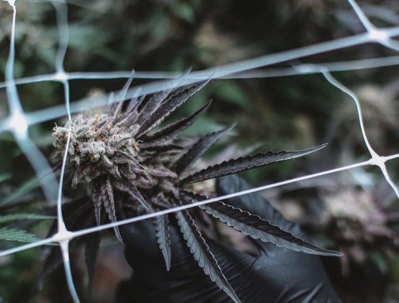 Cannabis autofloraison avec génétique ruderalis