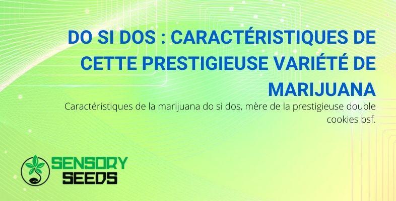 Les caractéristiques de la marijuana Do Si Dos, mère de Double Cookies BSF