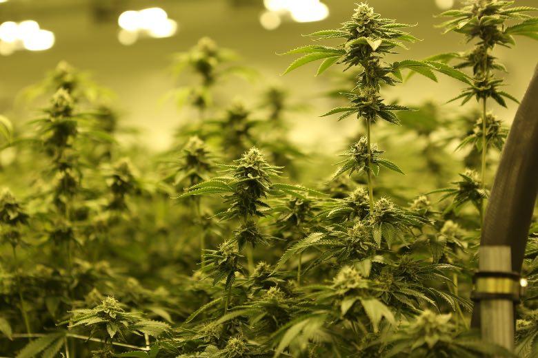 Différences de la culture du cannabis en extérieur et en intérieur.