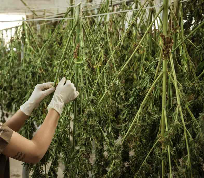 Avant la phase de bronzage, les fleurs de cannabis sont séchées