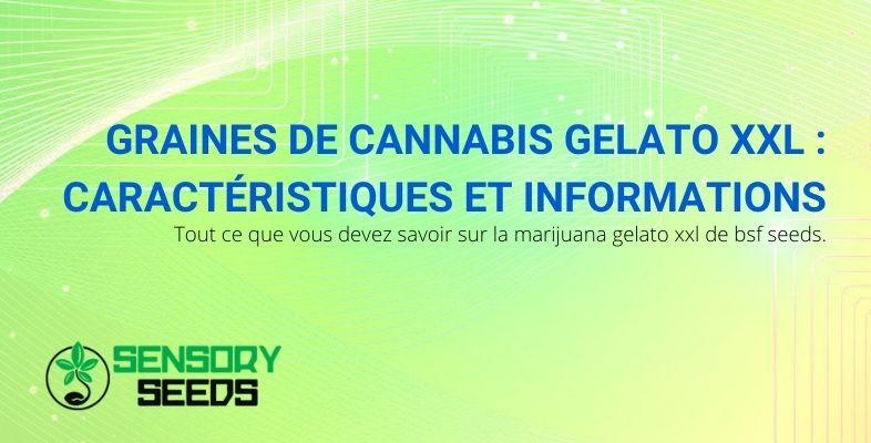 Caractéristiques et informations sur les graines de cannabis BSF Seeds Gelato XXL