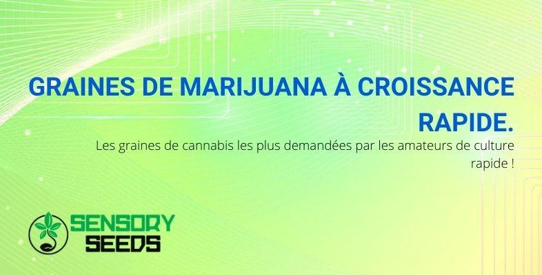 Tout ce que vous devez savoir sur les graines de marijuana à croissance rapide