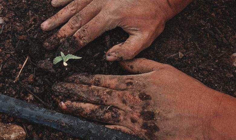Passage du plant de cannabis du stade de plantule au stade végétatif : quand cela se produit-il ?