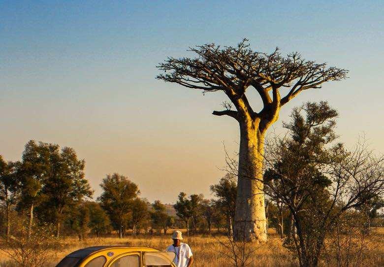 Baobab avec des branches horizontales comme méthode de scrog