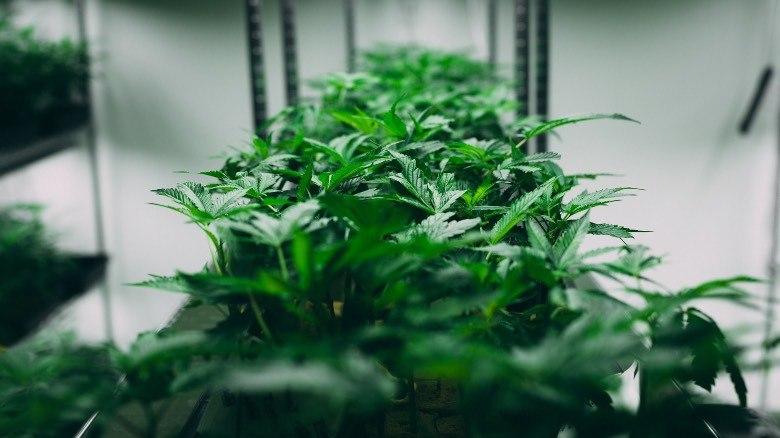 Plante de cannabis à autofloraison cultivée dans un petit environnement